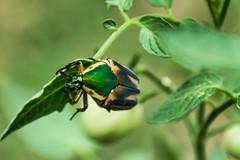 June beetle (Cotinis nitida)