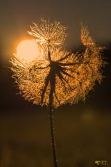 ''Lighthouse!'' (pascaleforest) Tags: macro macrophoto passion nikon sigma contrejour sun solei aurore golgenhour heuredoré nature matin morning québec summer été canada rosée eau water rayon