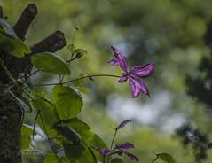 Bokeh (ChrisKirbyCapturePhotography) Tags: bokeh clematis goteborgbotanic garden