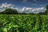 Feld mit Aussicht (mmbottrop) Tags: pentax k3 hdr wolken himmel blauer bewölkt sonnig bäume feld pflanzen planzenmeer clouds sky blue cloudy sunny trees field plants