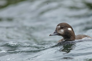 Harlequin Duck (female and admirer)