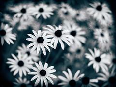 Flowers (rickmcnelly) Tags: flower rollei carl zeiss planar 50mm18 bw gx8 toned rolleicarlzeissplanar50mm18