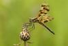 Halloween Pennant (Celithemis eponina) (Jeremy Gatten) Tags: halloweenpennant celithemiseponina celithemis pennant ontario odonata dragonfly dragonflies