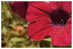 Que fais-tu là, Pétunia ? (Jean-Marie Lison) Tags: eos80d fleur pétunia rouge macro
