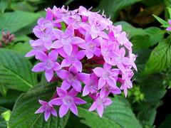 Flower of Hyderabad...............[Explored!] (ranju10) Tags: flower hyderabad samsung telengana ranju