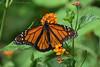 Monarch Butterfly (Kelley&Kelley) Tags: florida flower nature wildlife butterfly monarach garden nikon nikond7200 specanimal