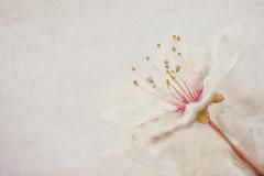 Signs of spring! (borealnz) Tags: macromondays highkey blossom flower prunus spring texture pretty dof focus shallowdof stamen petals