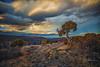 Cedar on the Black Canyon Rim (HLazyJ - Susan Humphrey) Tags: colorado coloradolandscape coloradoroads canon canonllens can blackcanyonnationalpark ©susanhumphrey