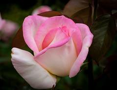 Rose, Pink & White, Pauillac FR (vern Ri) Tags: bordeaux france rose fleur flower fuji flora fiori pink rosas
