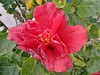 Hibiscus Rosa-Sinensis - Hibisco - Flora - Graal Estrela - Queluz-SP - Fotografado por Regis Silbar em 12-08-2017 (Regis Silbar) Tags: hibiscorosasinensis hibisco flor florvermelha flora regis silbar regissilbar queluz queluzsp sãopaulo sp