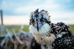 Holding on (reclaimednj) Tags: absecon newjersey unitedstates us nj 2017 osprey bird yooung nestling mullicariver