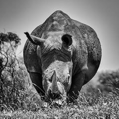 Rhinocéros blanc.jpg (BoCat31) Tags: fauvesauvage rhinocéros animal afriquedusud