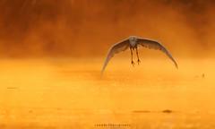 A Misty Morning (Jawad_Ahmad) Tags: nature naturephotographer naturephotography naturelover beautyofnature beautiful mist fof goldenlight flight birds birdwatcher birdsphotographer birdphotography flicker asianbird bokeh