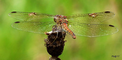 Common Darter. Sympetrum striolatum. (pete Thanks for 5 Million Views) Tags: hwcp lumix colchester wickedweasel