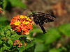 Hesperiidae: Urbanus proteus - Long-tailed Skipper (William Tanneberger) Tags: hesperiidae urbanus urbanusproteus longtailedskipper skipper wdtaugust butterfly