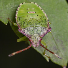 _IMG7346  Hawthorn shield bug (Acanthosoma haemorrhoidale)  5th Instar (Pete.L .Hawkins Photography) Tags: hawthorn shield bug acanthosoma haemorrhoidale 5th instar rowan berries petehawkins petelhawkinsphotography petelhawkins petehawkinsphotography pentax 100mm macro pentaxpictures pentaxk1 fantasticnature fabulousnature incrediblenature naturephoto wildlifephoto wildlifephotographer naturesfinest unusualcreature naturewatcher insect invertebrate 6legs compound eyes creepy crawly uglybug bugeyes fly wings eye veins flyingbug flying beetle shell elytra ground