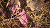 Ipês Roxos (phausto75) Tags: ipês brasíliadf flores flowers brasil