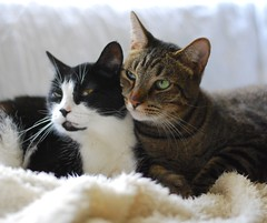 2-headed monster... :D (rootcrop54) Tags: tina female tuxedo masked cat cricket male tabby buddies heads sleeping pals neko macska kedi 猫 kočka kissa γάτα köttur kucing gatto 고양이 kaķis katė katt katze katzen kot кошка mačka maček kitteh chat ネコ