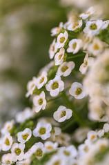 Howe (4 of 9).jpg (howekris10) Tags: alyssum sweetalyssum