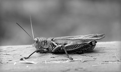 Grasshopper bw (The Life of a Camera) Tags: grasshopper nature bug hop bokeh blackandwhite