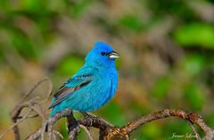 Indigo Bunting (Jamie Lenh Photography) Tags: nature wildlife birds indigobunting nikon d7100 tamron 150600