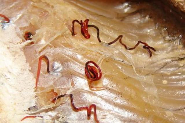 Врыбной продукции Самарской области найдены личинки сельдяного червя