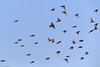 Vuelo al atardecer (marianoerro) Tags: sicalisluteola grasslandyellowfinch tipio misto bandada
