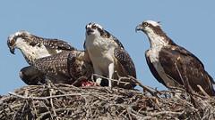 Osprey Family (photosauraus rex) Tags: osprey ospreynest youngosprey vancouver bc canada pandionhaliaetus bird