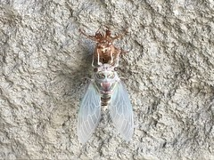 Coming out of its shell. (Pianomafia) Tags: bug whatisthisthing outdoors tampa florida shell molt insect moth nature