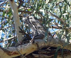 Tawny Frogmouth - male (RJNumbat) Tags: tawny frogmouth