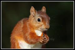 IMG_0124 Red Squirrel (Scotchjohnnie) Tags: redsquirrel squirrel sciurusvulgaris squirrelphotography mammal rodent wildlife wildlifephotography wildandfree wildanimal nature naturewildlifeandbirds northeastengland canon canoneos canon7dmkii canonef100400f4556lisiiusm scotchjohnnie closeup portrait