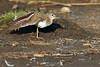 Common Sandpiper (Ady G.) Tags: dorset weymouth rspb rspblodmoor 1d4 1dmarkiv 500f4 canon shore bird nature palearcticwader actitishypoleucos shorebird commonsandpiper