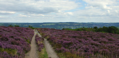 A sea of purple ling heather (Blue Sky Pix) Tags: ling heather purple stantonmoor birchover derbyshire peak district park beautiful colourful stunning summertime valley hills england pentax