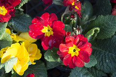 Primrose (Kirlikedi) Tags: flower flowerpot garden greenbloom leaf primroseflowers red spring treatment yellow