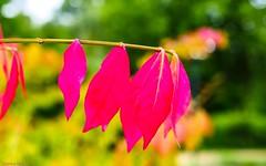 Comme un air d'automne (YᗩSᗰIᘉᗴ HᗴᘉS +8 000 000 thx❀) Tags: autumn summer season leave leaves feuilles red rouge bokeh hensyasmine 7dwf flor flora