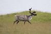 Reindeer at Höfn S24A9690 (grebberg) Tags: southiceland iceland july 2017 höfn reindeer rangifertarandus rangifer mammal