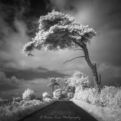 Leaning - IR720 (.Brian Kerr Photography.) Tags: sony cumbria lowhesket ir720 scotspine mono blackandwhite infrared tree edenvalley landscapephotography light photography photo nature naturallandscape natural outdoor outdoorphotography opoty visitbritain a6000 briankerrphotography briankerrphoto