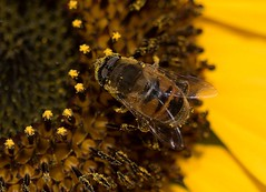 Schwebefliege (thomas druyen) Tags: makro insekt blume sonnenblume nektar blütenstaub natur schwebefliege flügel gelb pollen