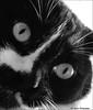 """ That Darn Cat !! "" (John Neziol) Tags: jrneziolphotography nikon nikondslr nikoncamera nikond80 pet portrait petphotography petphotographer closeup cute cat animal interesting brantford bright beautiful monochrome blackwhite highkey kitty cateye catseyes feline"