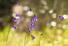 bluebells (marianna_a.) Tags: bluebells flowers macro bokeh hbw light sparkles grass wind quebec canada mariannaarmata