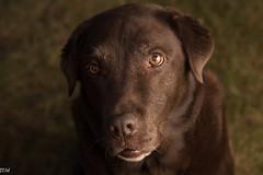 Freya (MikeWeinhold) Tags: freya labradorretriever chocolatelab eyes dog dogportrait chocolate 6d 24105mm speedlite430exii