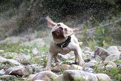 Turbo Pit Bull apbt adba (alexmuoz370) Tags: dog pitbull apbt fotografía sensaciones