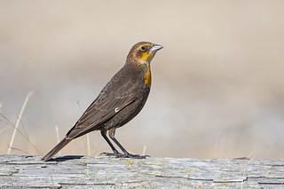 yellow-headed blackbird Victoria bc