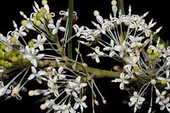 Grevillea curviloba (andreas lambrianides) Tags: grevilleacurviloba grevilleavestitavarangustata grevilleabiternata proteaceae australianflora australiannativeplants whiteflowers grevillea wa