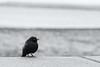 Little Bird (sdupimages) Tags: hmbt mbt bokeh california sanfrancisco oiseau bird nb bw noirblanc blackwhite tamron