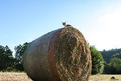 The Internet Signal Is Stronger Up Here, Mom! (Xena*best friend*) Tags: catherinedeneuve cd haybale summer2017 cats whiskers feline katzen gatto gato chats furry fur pussycat feral tiger pets kittens kitty piedmontitaly piemonte canoneos760d italy wood woods wildanimals wild paws animals calico markings ©allrightsreserved purr digitalrebelt6s canonef70300mm flickr outdoor animal pet hotweather pov pointofview