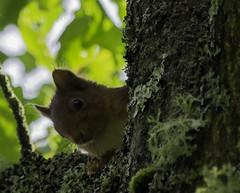 Cache-cache (Maxime's pictures) Tags: foret forest tree arbre ecureuil ecureuilroux squirrel redsquirrel sciurusvulgaris