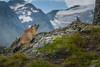 Marmot (trx_850) Tags: marmot murmeltier austria österreich grossglockner rock mountains animal snow grass