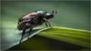 Japanese Beetle (Chris Lue Shing) Tags: olympusep1 sigma28200mm reversalring offcameraflash macro insect bug closeup garden flash ©chrislueshing olympus ep1 sigma 28200 28200mm beetle japanesebeetle red
