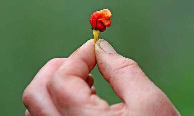 Hơi thở của rồng là tên loại ớt cay nhất thế giới, và nó có thể giết người - Ảnh 1.